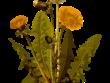dandelion 1299794 1280